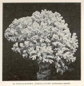 coralliaire