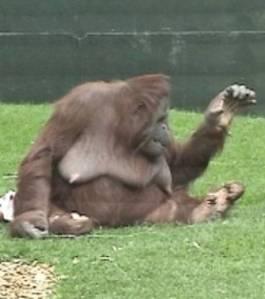 une-autre-invitation-a-jouer-lorsque-le-singe-leve-le-bras_15475_w460